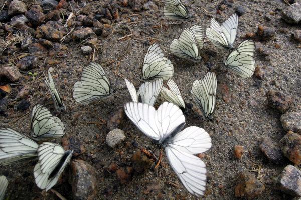 Pihlajaperhosia. Kuvituskuva.