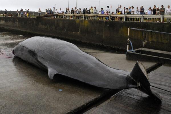 Japanin vesillä pyydetty pohjannokkavalas kesällä 2009. Japani ilmoitti joulukuussa 2018 aloittavansa kaupallisen valaanpyynnin uudelleen.