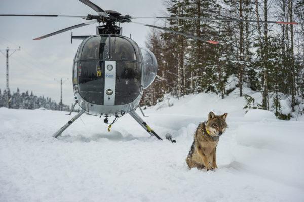 Pannoituksessa susi tainnutetaan helikopterista, minkä jälkeen sille asennetaan seurantapanta. Lopuksi tutkijat odottavat suden heräämistä.