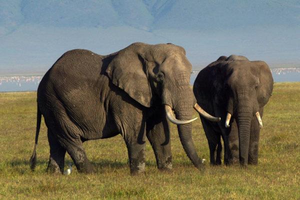Afrikkalaisia norsuja Ngorongoron kraatterissa Tansaniassa 2003.