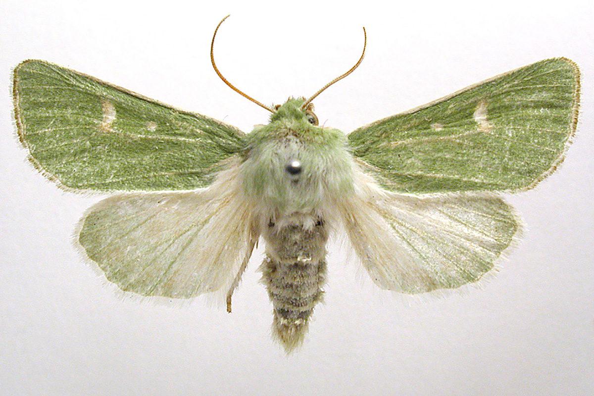 Viheryökkönen (Calamia tridens).