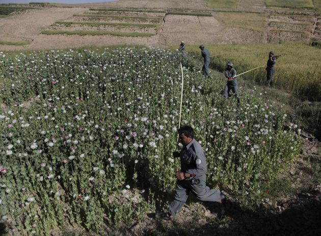 Poliisit ratsasivat laittoman oopiumuinikkopellon Afganistanissa heinäkuussa 2009.