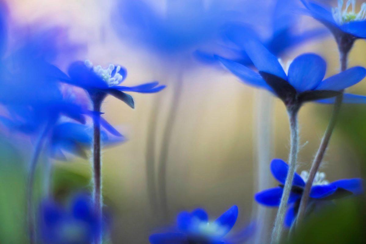 Sinivuokko kukkii varhain, koska se kasvattaa nuppujaan jo syksyllä. Kotitilan lähellä sekametsikössä sinnittelee pieni tupas, jota Rantala käy kuvaamassa.