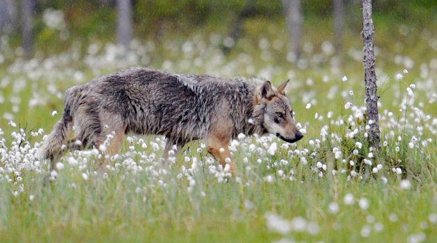 Susi (Canis lupus) on luokiteltu Suomessa erittäin uhanalaiseksi.