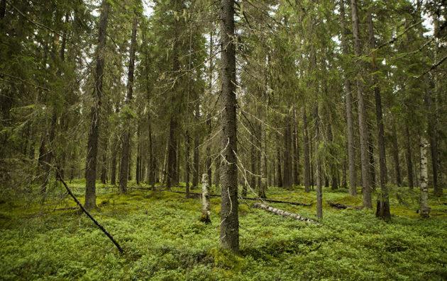 Korpikuusikkoa Elimyssalon luonnonsuojelualueella Kuhmossa. Kuvituskuva.