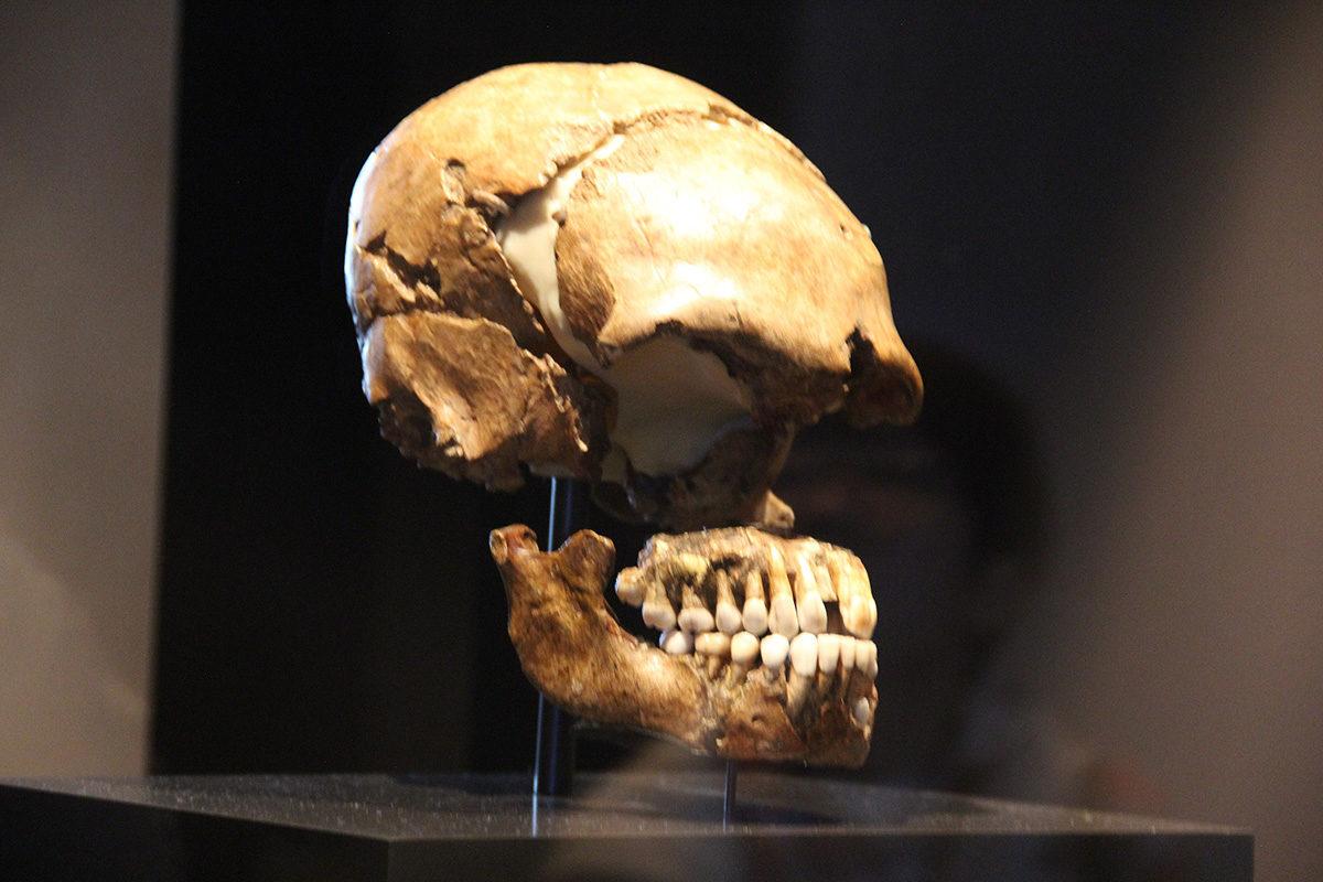 Neandertalinihmisen kallo esillä Neues Museumissa Berliinissä.