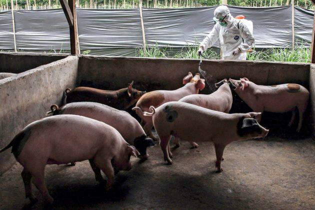 Eläinlääkäri desinfioi sikoja Kabanjahessa Indonesiassa 12. marraskuuta. Pohjois-Sumatralla on epäilty afrikkalaista sikaruttoa, mutta varmoja tapauksia ei eläintautijärjestö OIE:n raporteissa ole.