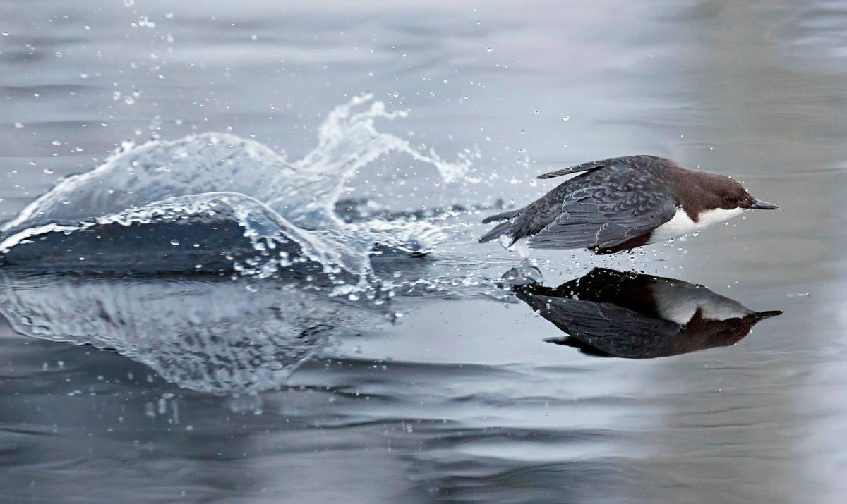 Pompulla laskeutuminen. Koskikara on lennähtänyt rannalta virtaan etsiäkseen ruokaa, mutta vauhti on niin kova, että kevyt lintu ponnahtaa veden pinnasta ennen kuin pysähtyy joen vietäväksi.