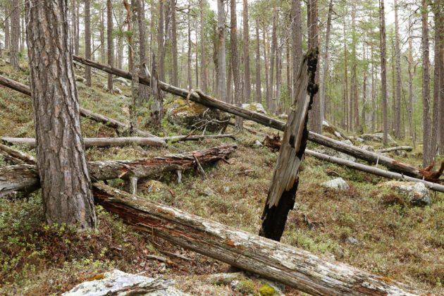 Inarin yhteismetsä on yksi paikoista, joista Inergia on hankkinut runkopuuta poltettavaksi. Ympäristökonsultti Ari Aallon kartoituksissa alueelta on löytynyt lukuisia uhanalaisia lajeja.