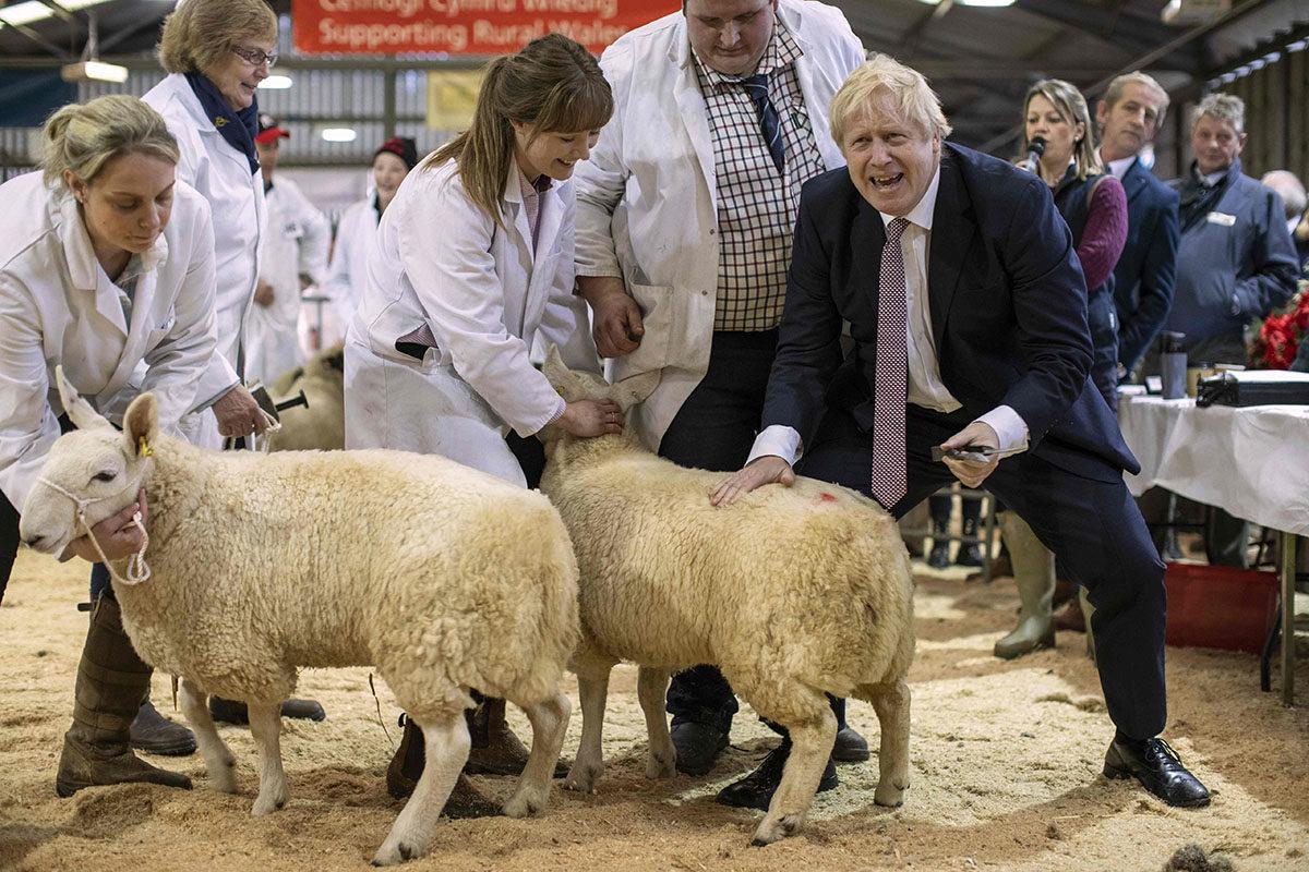 Britannian pääministeri Boris Johnson poseerasi lampaiden kanssa Llanelweddin messuilla Walesissa 25. marraskuuta 2019.