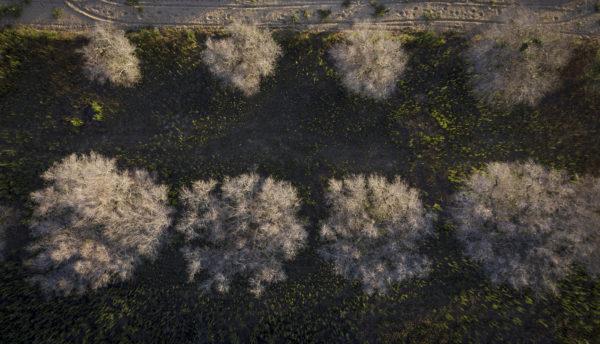 Oliivipuut ovat kärsineet Xylella fastidiosa -bakteerista pahiten Etelä-Italiassa Apulian alueella.