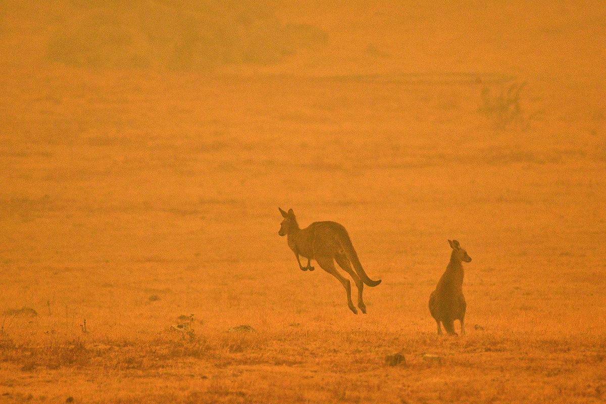 Kengurut loikkivat maastopalojen nostamassa savupilvessä Cooman kaupungin lähistöllä 4. tammikuuta.