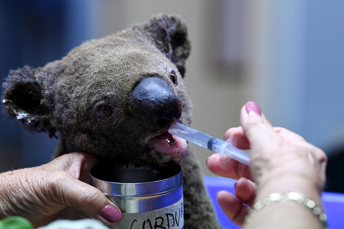 Maastopaloissa loukkaantunutta koalaa hoidettiin Port Macquariessa marraskuussa 2019.