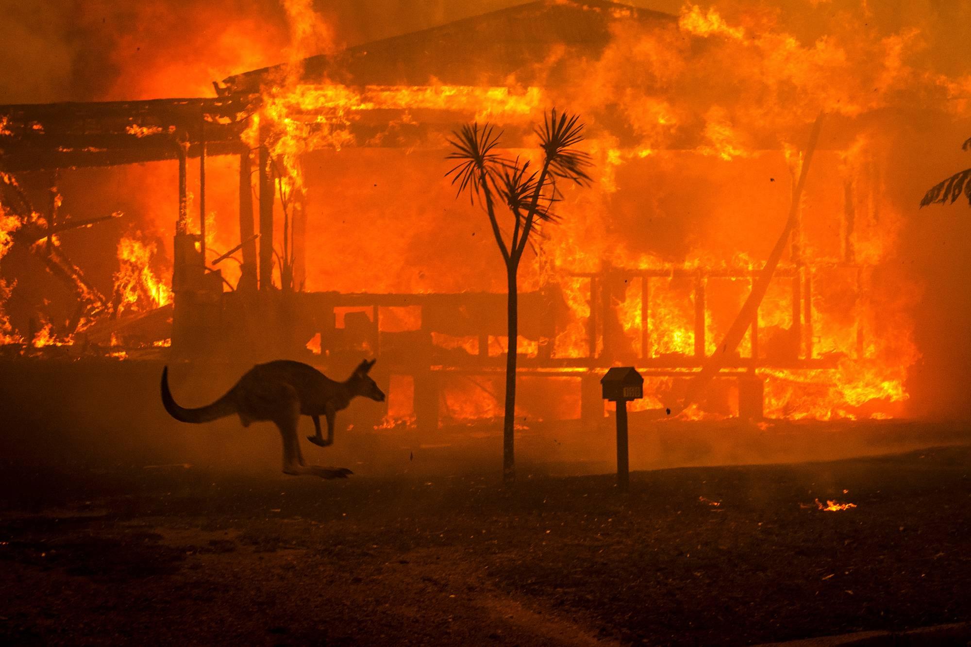 Talot paloivat Lake Conjolan suositulla turistialueella. Kenguruiden ja muiden nisäkkäiden lisäksi paloista ovat kärsineet muun muassa uhanalaiset matelijat. Erityisen haavoittuvassa asemassa ovat lajit, jotka ovat sopeutuneet elämään sademetsissä. Tuli ja kuumuus vaurioittavat niiden elinympäristöä herkemmin kuin esimerkiksi savannia, eivätkä sademetsät välttämättä toivu.