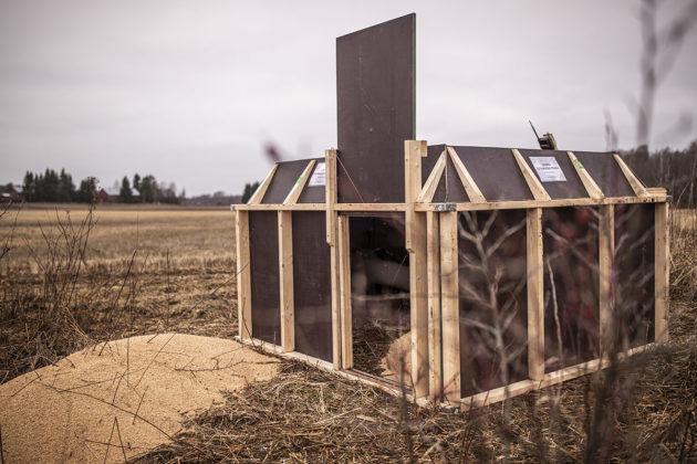 Villisikaloukku Kurkelan kylässä Virolahdella. Syötti laukaisee pyydyksen, jolloin ovi sulkeutuu.