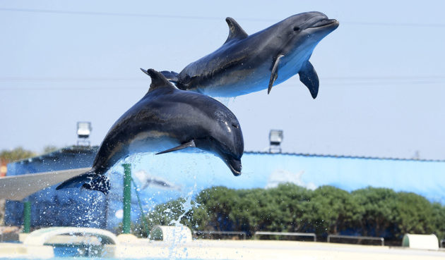 Delfiinejä Attican eläinpuistossa Ateenassa. Kuvituskuva.