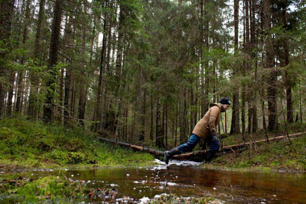 Mia Takula ylittää puron susireviirin ytimessä Raaseporissa. Imettävällä naarassudella pitää olla vettä lähellä.