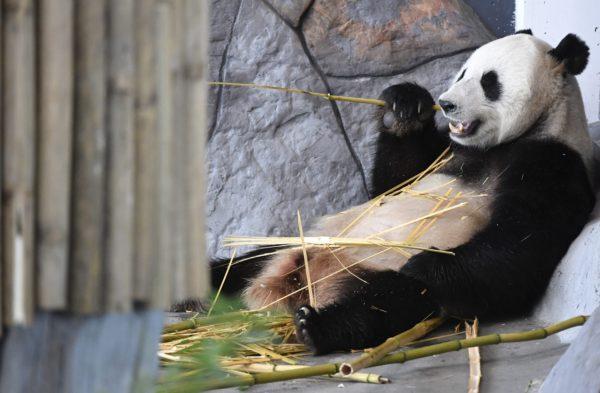 Urospanda Hua Bao, suomeksi Pyry otti rennosti Pandatalossa Ähtärissä 17. huhtikuuta 2018.