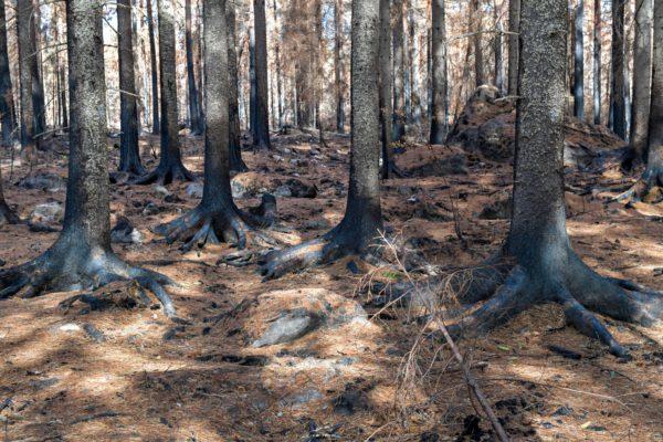 Pyhärannassa musta maa muuttui kellanruskeaksi, kun palaneet puut pudottivat neulasensa kesällä 2018.