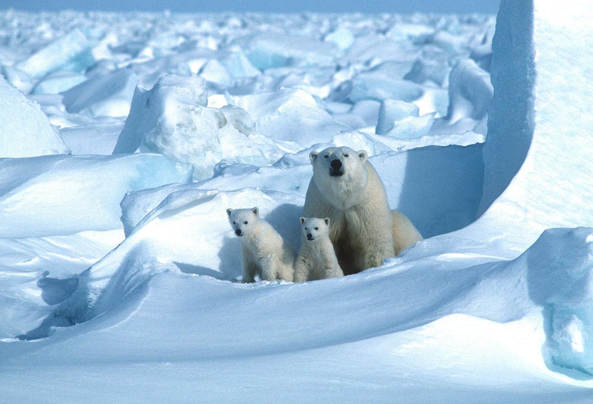 Jääkarhuemo poikasineen. Kuvituskuva.