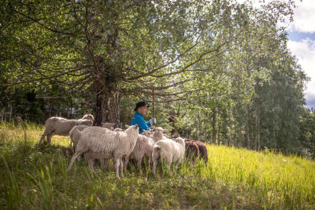Toimittaja Petri Pöntinen paimensi lampaita entisellä Luutsaaren pientilalla Kuhmoisissa.