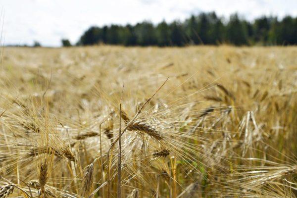 EU käyttää maatalouden tukiin yli 50 miljardia euroa vuodessa.