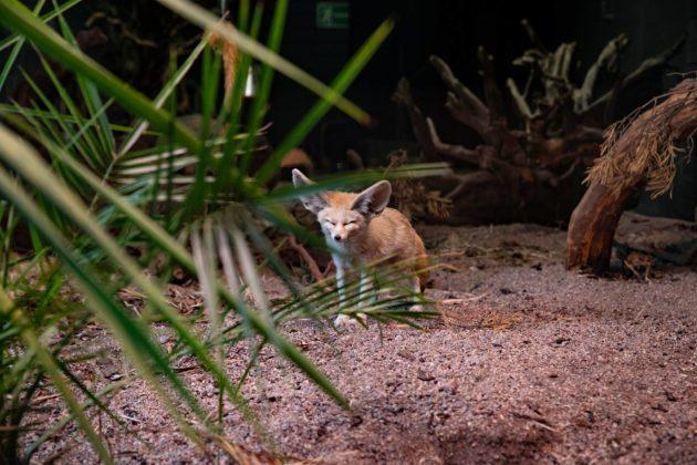 Aavikkokettu Korkeasaaren eläintarhassa Helsingissä.