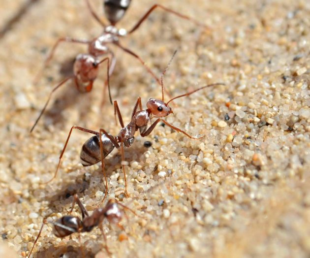 Saharan autiomaassa eläviä työläismuurahaisia.