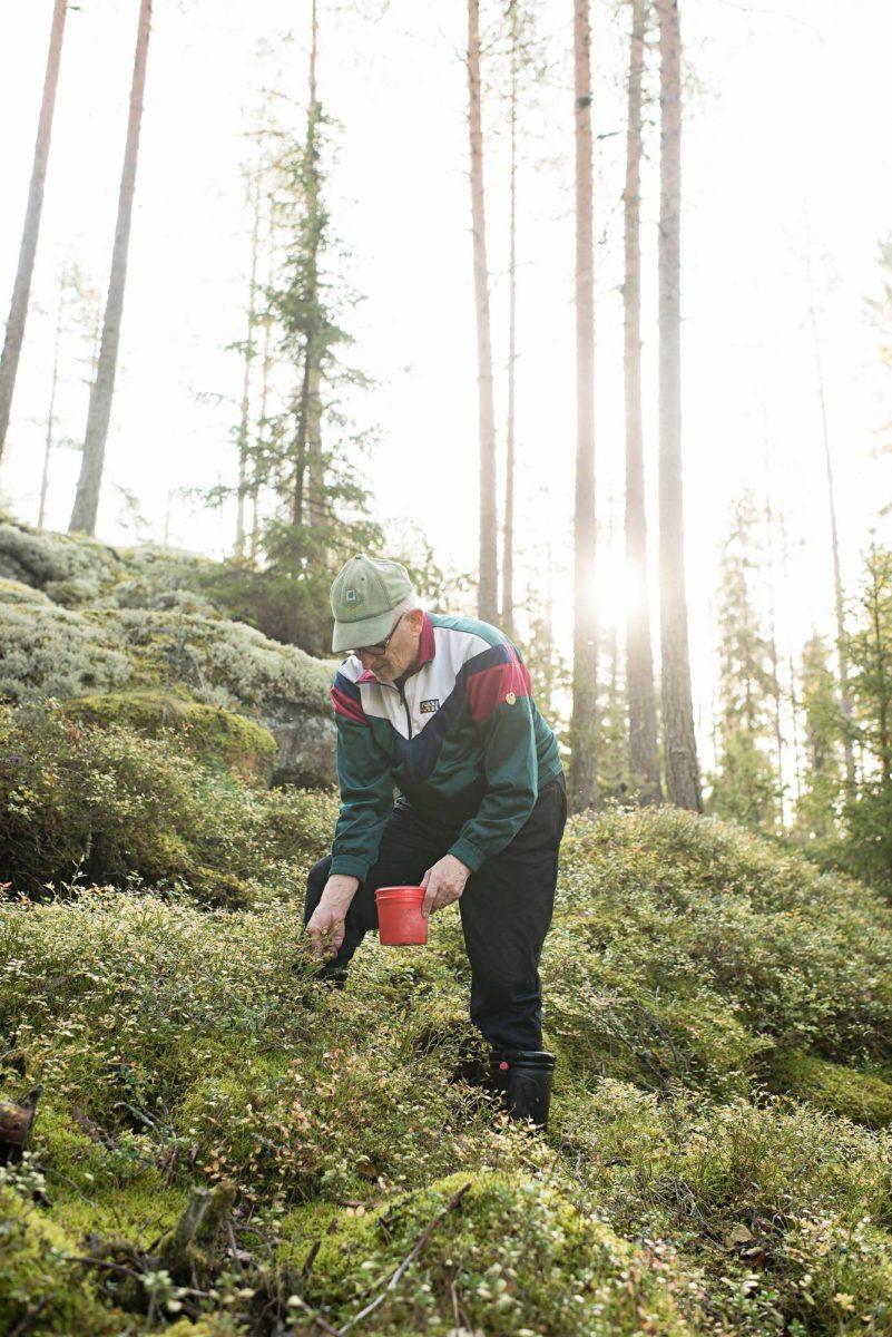 Paavo Lakaniemi poimii käsin pieneen astiaan. Marjoja kertyy ämpärillinen, puolitoista päivässä.