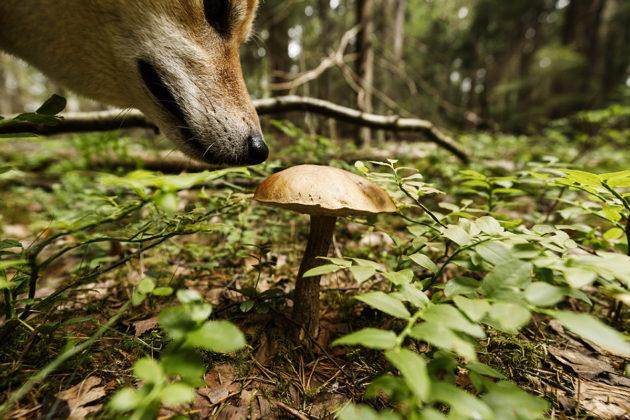 Koira ja lehmäntatti Pilvijärven luonnonsuojelualueella Sipoossa 11. heinäkuuta.