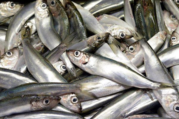 Valtaosa silakkasaaliista käytetään rehuna turkistarhauksessa ja kalankasvatuksessa.