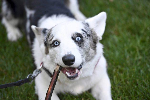 Koira kuulee korkeampia ja matalampia taajuuksia kuin ihminen.