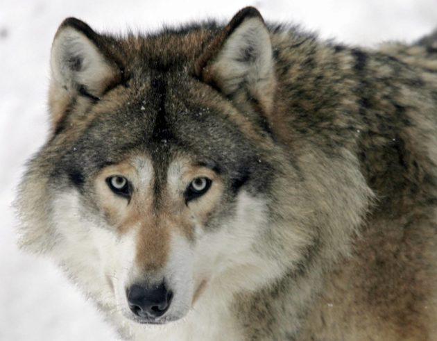 Suden kesyyntyminen koiraksi on pohdituttanut tutkijoita.
