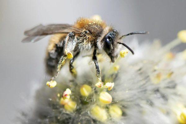 Hammasmaamehiläinen (Andrena praecox).