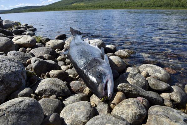 Kymmenkiloinen lohi (Salmo salar) Tenojoen rannalla heinäkuussa 2020.