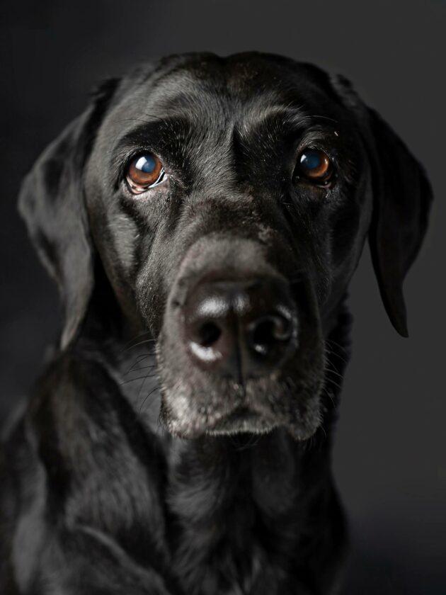Labradorinnoutaja Mimmin, 11, vehnäallergia todettiin 4-vuotiaana. Se aiheuttaa hiivatulehdusta ihossa ja korvissa.