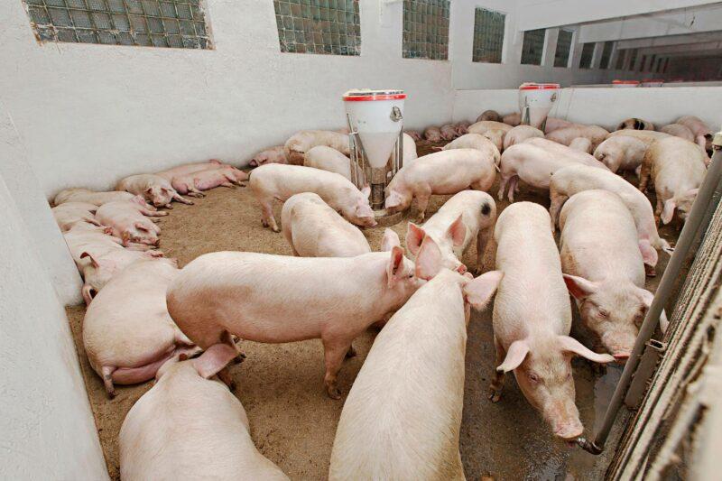 Sekä lintujen että ihmisten influenssavirukset voivat tarttua sikaan.