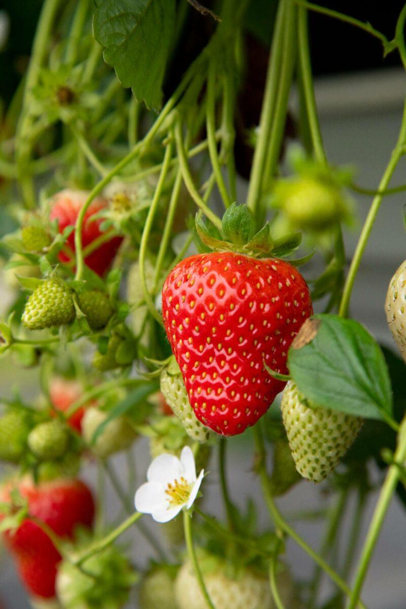 Murano on jatkuvasatoinen lajike, joka tuottaa mansikoita jopa toukokuusta lokakuulle.