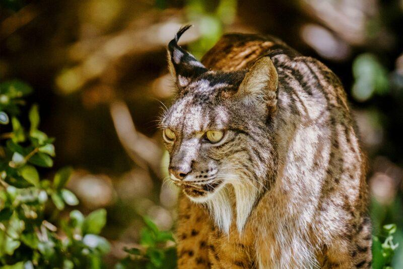 Silvesin kasvatuskeskus lahjoitti lisääntymiskyvyttömän Azahar-naaraan eläinpuistoon vuonna 2014.