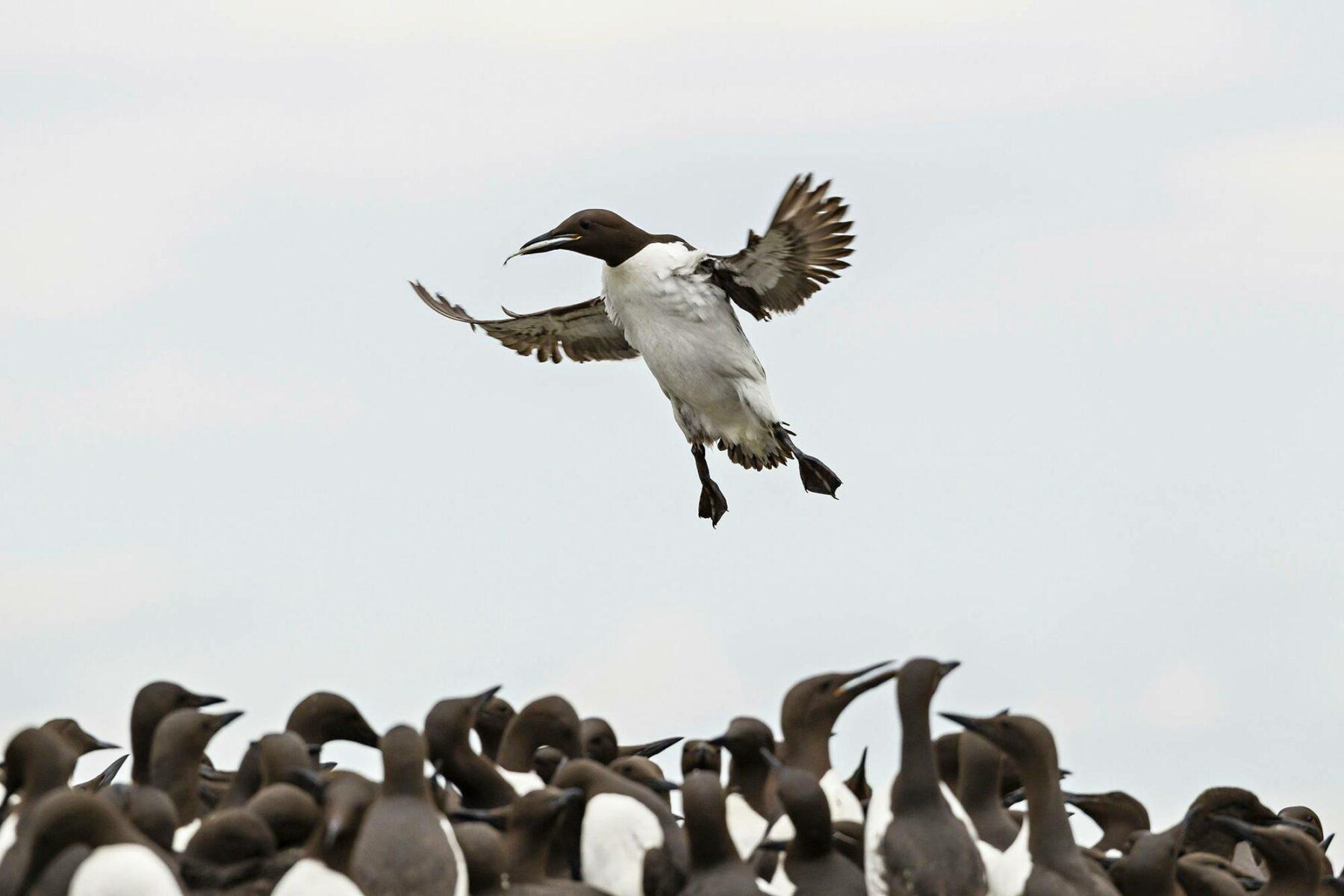 Kiisloja Farnen saarilla Northumberlandissa Koillis-Englannissa.
