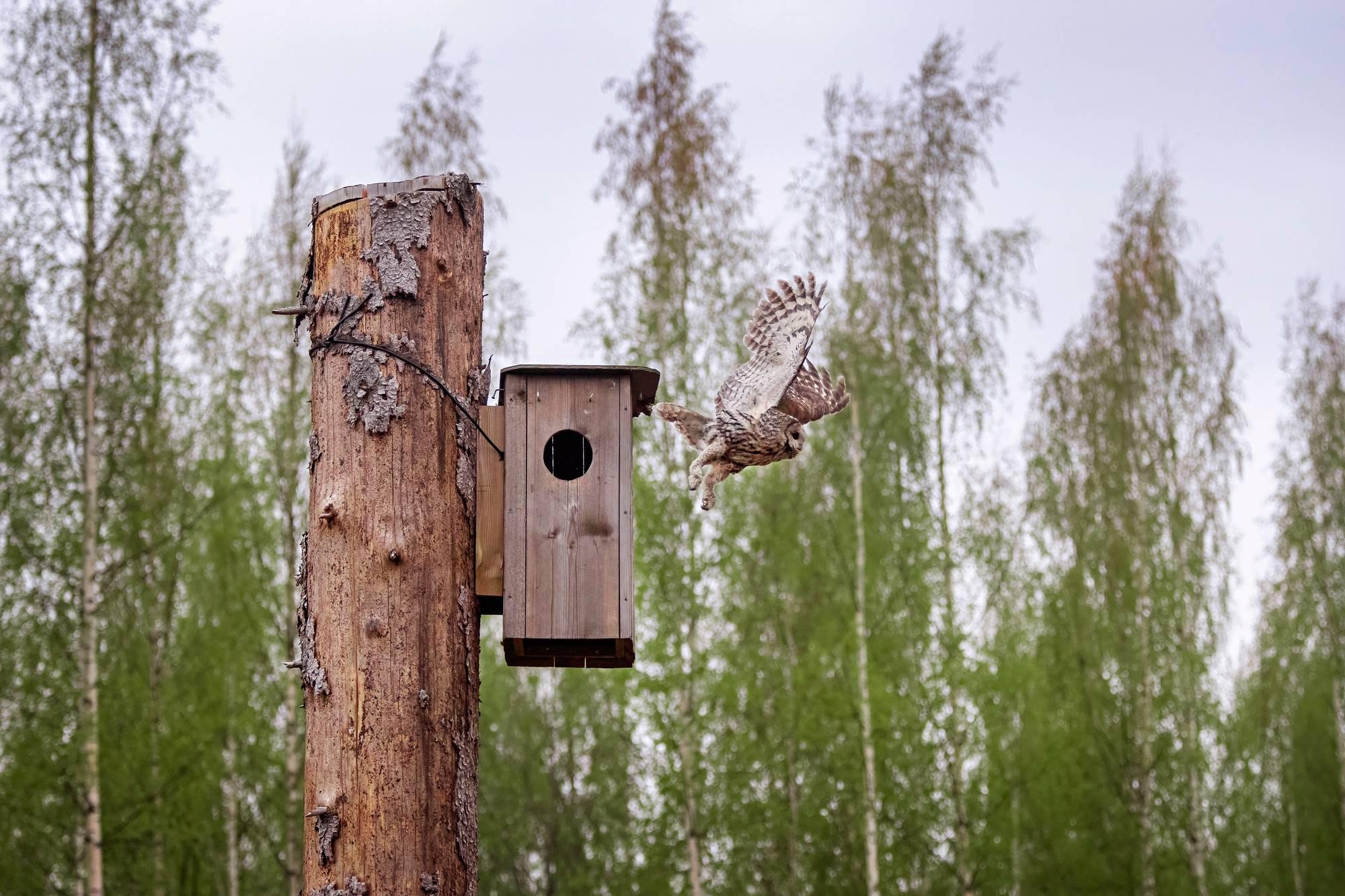 Lehtopöllönaaras lähtee pesästään. Pönttö sijaitsee avohakatussa metsässä Hyömäen kylässä, ohjeiden mukaan katkaistussa kuusessa.