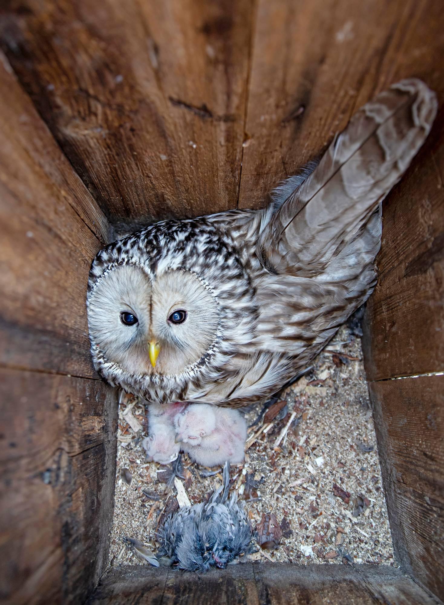 Viirupöllönaaras poikasineen Kukkolan kylässä toukokuussa 2019.