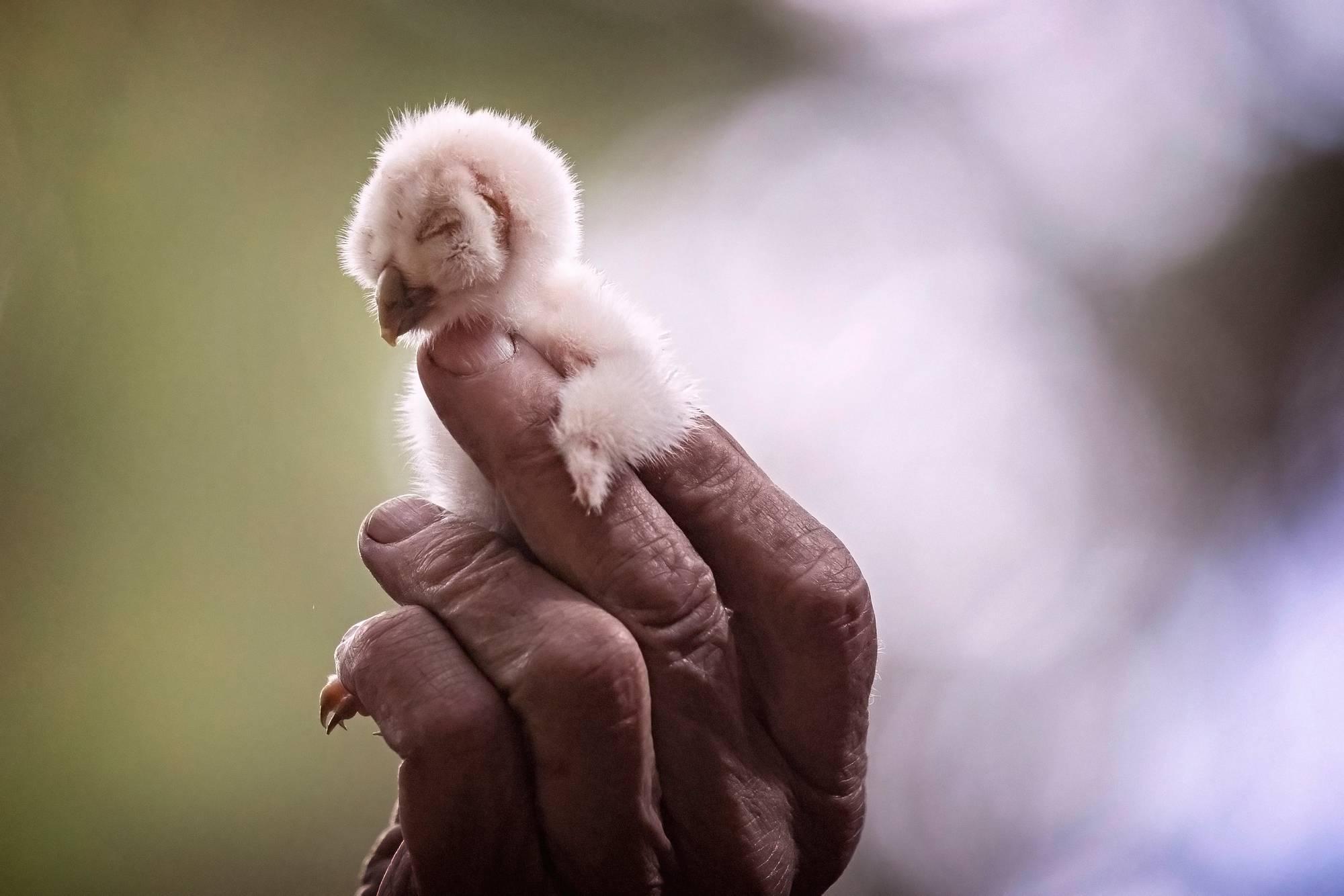 Vastakuoriutunut viirupöllön poikanen Pertti Saurolan sormissa Luopioisissa.