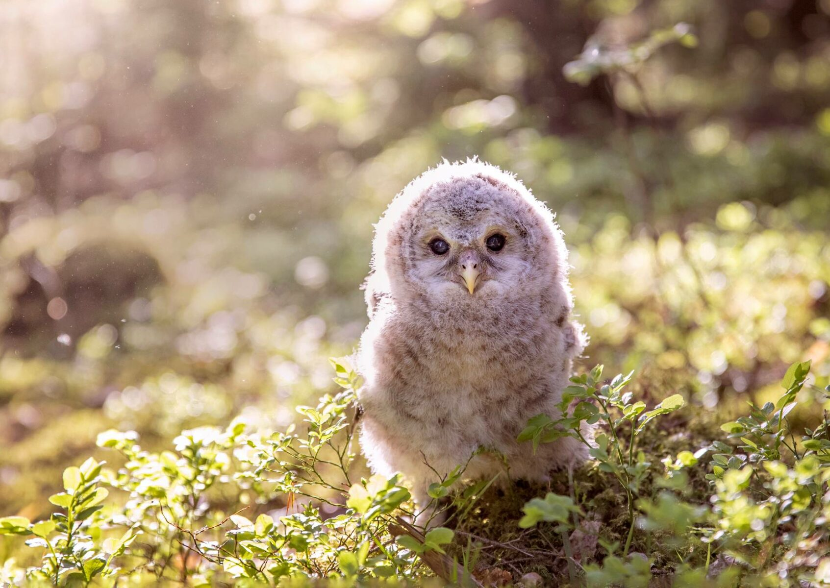 Viirupöllön poikanen on juuri lähtenyt pesästään Laitikkalan kylässä Pälkäneellä. Se ei osaa vielä lentää.