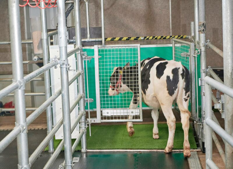 Vasikka käyttää tutkimuksen lehmille suunniteltua MooLoo-käymälää.