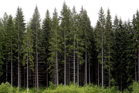 Suomalaista metsää